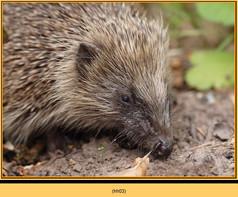 hedgehog-03.jpg