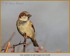 house-sparrow-38.jpg