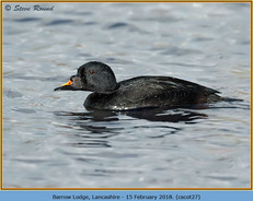 common-scoter-27.jpg