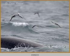 minke-whale-11.jpg