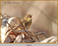 grasshopper-warbler-47.jpg