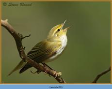 wood-warbler-79.jpg