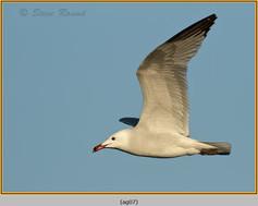 audouin's-gull-07.jpg