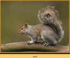 grey-squirrel-10.jpg