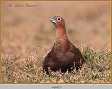 red-grouse-102.jpg