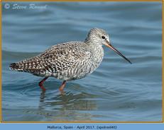 spotted-redshank-40.jpg