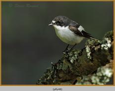 pied-flycatcher-48.jpg