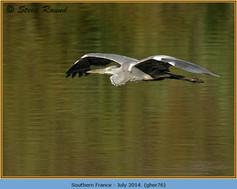 grey-heron-76.jpg