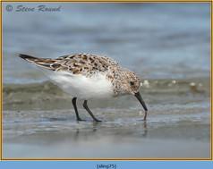 sanderling-75.jpg