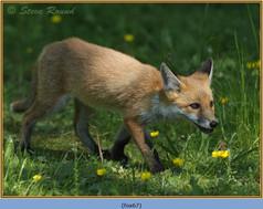 fox-67.jpg