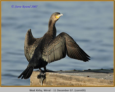 cormorant-09.jpg