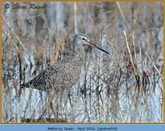spotted-redshank-34.jpg