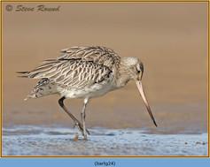 bar-tailed-godwit-24.jpg