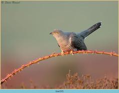 cuckoo-157.jpg