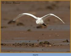 little-egret-54.jpg