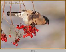 bullfinch-46.jpg