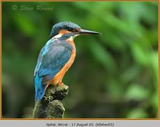 kingfisher-05.jpg