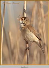 reed-warbler-11.jpg