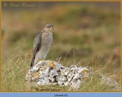 sparrowhawk-19.jpg