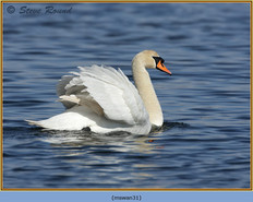 mute-swan-31.jpg