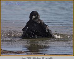carrion-crow-12.jpg