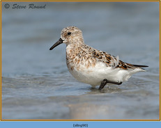 sanderling-90.jpg