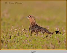 red-grouse-135.jpg