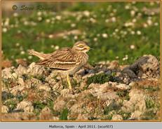 stone-curlew-07.jpg