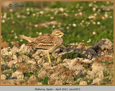 stone-curlew-07.jpg