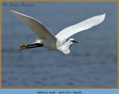 little-egret-58.jpg