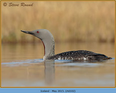 red-throated-diver-102.jpg