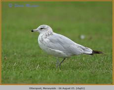 ring-billed-gull-01.jpg