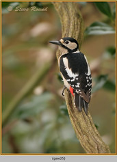 gt-s-woodpecker-25.jpg