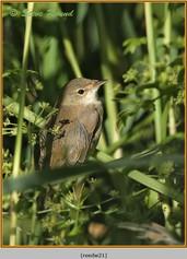 reed-warbler-21.jpg