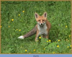 fox-55.jpg