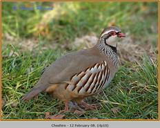 red-legged-partridge-10.jpg