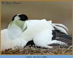 eider-duck- 80.jpg