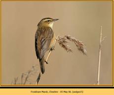 sedge-warbler-15.jpg