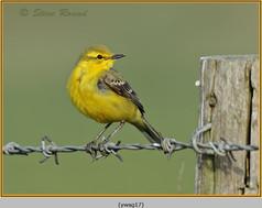 yellow-wagtail-17.jpg