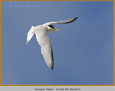 little-tern-01.jpg