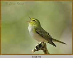 wood-warbler-49.jpg