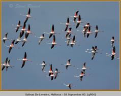 greater-flamingo-04.jpg
