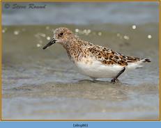 sanderling-86.jpg
