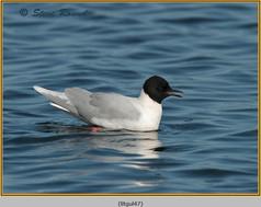little-gull-47.jpg