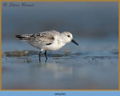 sanderling-56.jpg