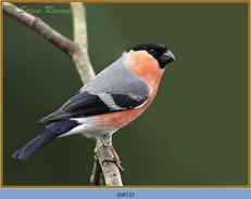 bullfinch-72.jpg