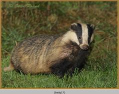badger-17.jpg