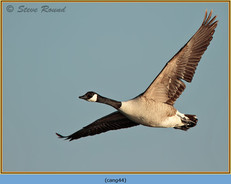 canada-goose-44.jpg