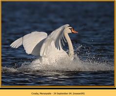 mute-swan-09.jpg