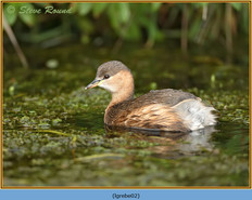 little-grebe-02.jpg